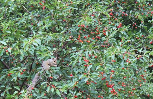 Écureuil gourmand